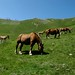 Cavalos que pastavam perto do acampamento