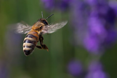 Flying Honeybee in the lavender (mistermacrophotos) Tags: macro canon garden insect flight lavender bee mk2 5d niv