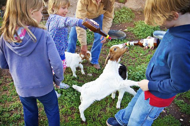 Black Mountain Colorado Dude Ranch feeding goats