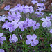 Phlox on Flagstaff Mountain
