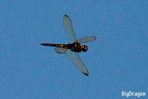Dragonfly300mm