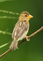 Baya Weaver Female