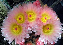 Quintuplets! (Mary Faith.) Tags: pink flowers cactus plant flower macro art nature yellow garden gold design desert five hobby pale stamens translucent buds pearl pollen blooms thorns delicate prickles potplant quintuplets pearlescent mygearandme