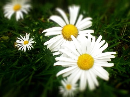 pearldaisies by Nature Morte
