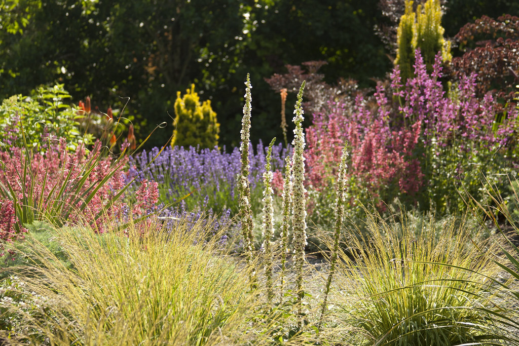 Verbascum Agastache and Stipa