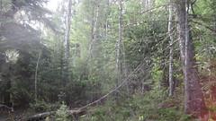 IMG_1832 (scrumtrulescent) Tags: camping mist fire colorado hiking chainsaw trail spike nalgene stihl rampartrange ponderosapine pikenationalforest beetlekill s212