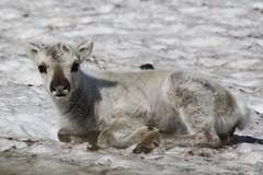 Svalbard Reindeer Calf (iantaylor1) Tags: svalbard arctic
