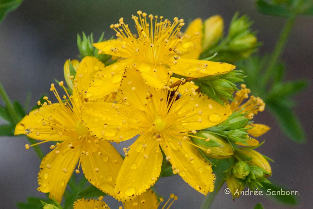 Common St. John's-wort (Hypericum perforatum)-3.jpg