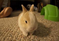 "Queso ""teh drawf bunny"" (BigLou Photography) Tags: rabbit bunny drawf"