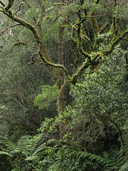 "Otways rainforest • <a style=""font-size:0.8em;"" href=""http://www.flickr.com/photos/44919156@N00/5984441512/"" target=""_blank"">View on Flickr</a>"