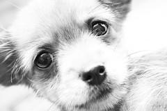 trollie 11 (jaumescar) Tags: dog chien chihuahua cute puppy perro cachorro gos