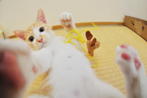 フリー写真素材, 動物, 哺乳類, 猫・ネコ, 子猫・小猫, パンチ,
