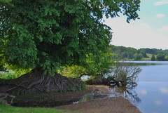 Marbury, Cheshire 260711 DSC_0252 (Leslie Platt) Tags: tree village cheshire straightened marbury rootsystem bigmere exposureadjusted cheshireeast