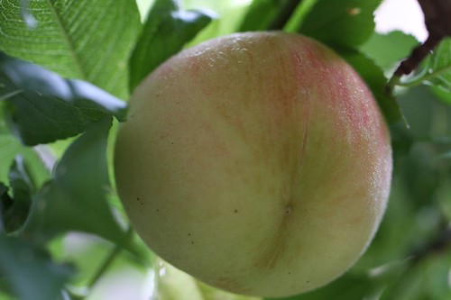 夏の甘い果実 / Sweet peach