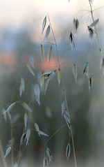 Seeds at dusk (Kim Meeds) Tags: flowers canon 50mm evening sundown dusk seeds crops manualfocus goldenhour