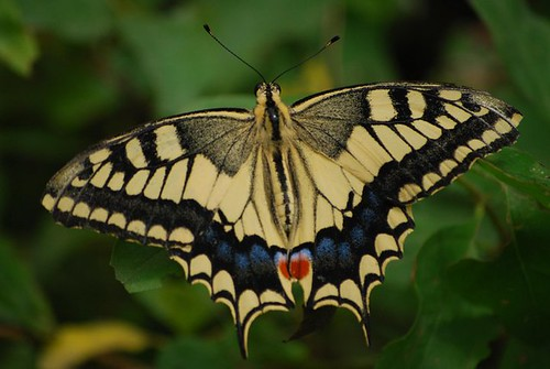 Common Swallowtail / Papilio machaon