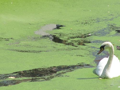 swan hates pollen