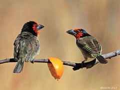 Black-Collared Barbet (Lybius torquatus) (ruslou (More off than on)) Tags: nature southafrica blackcollaredbarbet lybiustorquatus warmbaths ruslou belabela zwartkloofprivategamereserve rooikophoutkapper