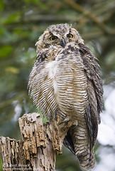 Great Horned Owl (Bob Stronck) Tags: goldengatepark owls greathornedowl stowlake bubovirginianus owlet cityofsanfrancisco ©rmstronck stronckphotocom birdsofsanfranciscobay