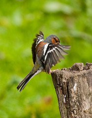 Delicate Landing!!  (Male Chaffinch) (marsch1962) Tags: motion male bird nature flying wings landing chaffinch thewonderfulworldofbirds
