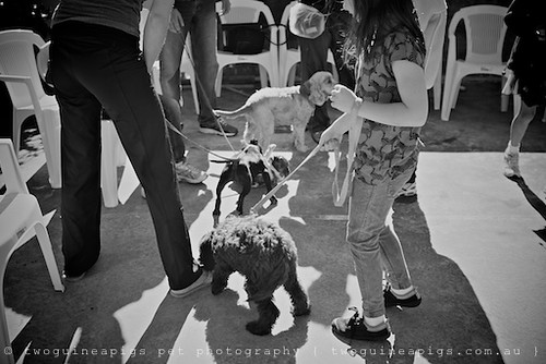 Puppies socialising by twoguineapigs pet photography