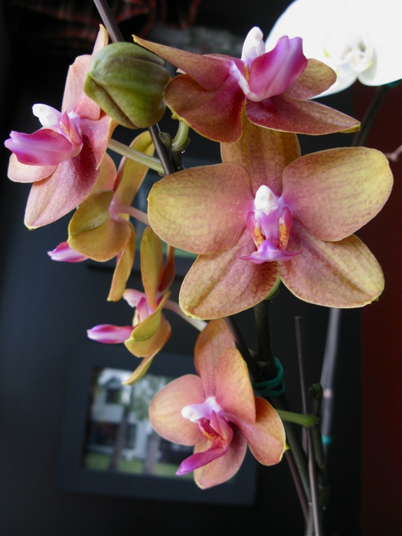 blooming phalaenopsis orchids 004