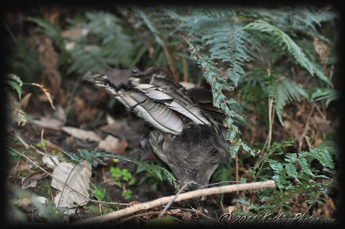 Tail feathers of a Superb Lyrebird Foraging