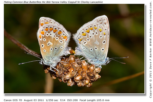 Mating Common Blue Butterflies Hic Bibi Yarrow Valley Coppull Nr Chorley Lancashire