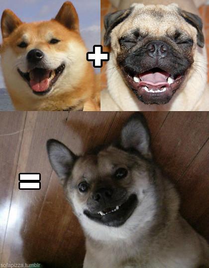 Shiba Inu Pug Cross Breed