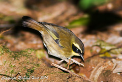 Yellow-throated Scrubwren (SillyOldBugger (in and out of internet range)) Tags: wild bird australian australia aves queensland sunshinecoast avian wildbird scrubwren sericornis sericorniscitreogularis marycairncrossreserve sonydslra200 yellowthroatedscrubwren sonyalpha200 minolta3004hsg wildbirdaustralia