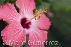 Pink Hibiscus (mfg143) Tags: ocean pink red summer white plant flower color macro green nature floral beautiful beauty forest scarlet garden island hawaii leaf petals pretty shoot close blossom five vibrant background decoration vivid fresh pistil petal growth hibiscus jungle stamen tropical present bloom aloha tropics stigma radiant herbal isolated gentle carmine