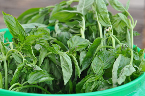 Lots of Basil