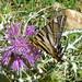 Scarce Swallowtail. Iphiclides podalirius feisthamelii,  u/s