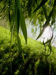 Sauce Llorn (Salix Babylonica) (Gorka Vega) Tags: sauce salix babylonica lloron fz38