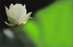 lotus flower backlit leaf - IMG_1547-1 (Bahman Farzad) Tags: flower macro yoga leaf peace lotus relaxing peaceful backlit meditation therapy lotusflower lotuspetal lotuspetals lotusflowerpetals lotusflowerpetal