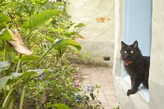 Jacinta Ventaneando (CAUT) Tags: portrait southamerica cat nikon october colombia retrato gato gata meow octubre angora negra miau jacinta cundinamarca 2011 amricadelsur caut cajica nikond90 cajic blackangora angoranegro