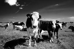 moo? (Jinna van Ringen) Tags: netherlands amsterdam cows jorindevanringen jinnavanringen chanderjagernath jagernath jagernathhaarlem