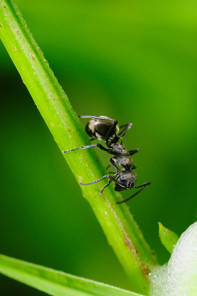 黑棘蟻 Polyrhachis dives