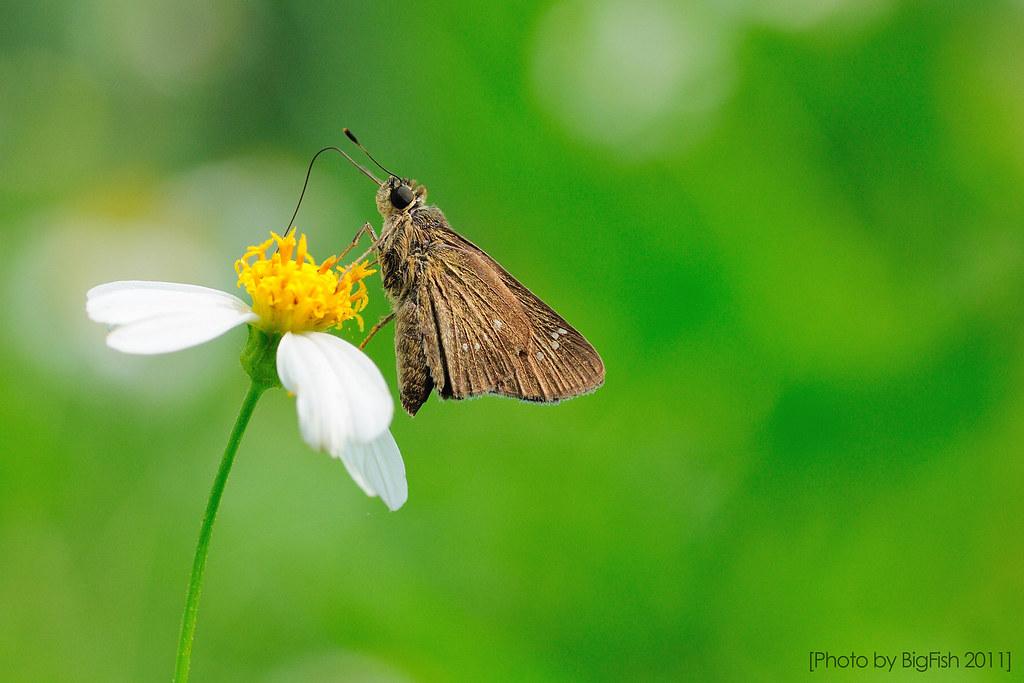 褐弄蝶 Pelopidas mathias oberthueri