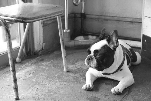 French Bulldog Chikuwa monotone