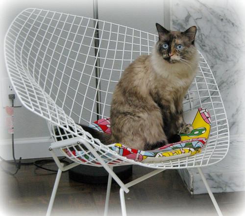 cat on a beroia Diamond Chair