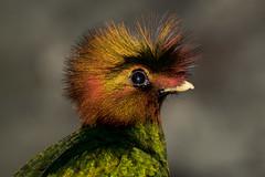 Quetzal (Eduardo de Mara) Tags: mexico libertad guatemala colores ave pajaro chiapas exotica paraso quetzal cresta amenazado peligrodeextincin selvanaturaleza