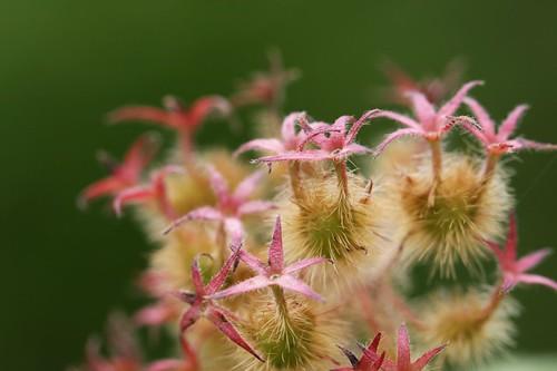 コルクウィツィア アマビリス / Kolkwitzia amabilis