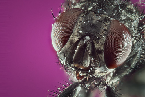House Fly - Front