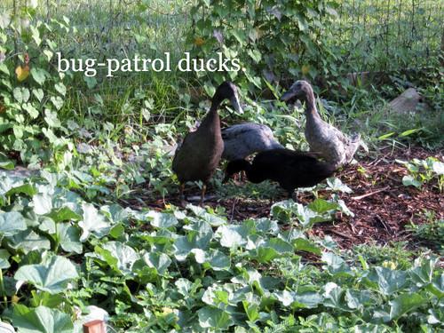 bug patrol ducks