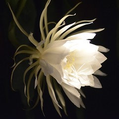 intoxicating (kathleen walsh) Tags: white flower night fragrant magical ohmy cereus inthedark intoxicating nightbloomingcereus evilminisnightgarden