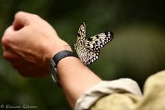 Friends (egibson1) Tags: white black netherlands shirt canon butterfly wings pattern arm legs bokeh nederland resting nl antennae vlinder 135mm leidschendam zuidholland vlindertuin
