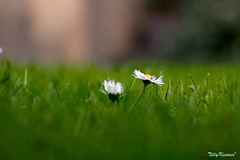 Ant's life (Benjamin von Tilly Kistner) Tags: plant green nature animal animals daisies canon germany garden de deutschland photography eos 50mm photo colorful europe photos pov natur pflanze lawn wiese ground german daisy grn canoneos bergischesland garten unten gruen bunt rasen gnseblmchen boden froschperspektive wormseye depthoffocus remscheid gnseblume tiefenschrfe ef50 canonef50mmf18ii festbrennweite fixedfocallength colorphotoaward canonef50 canoneos60d eos60d doublyniceshot mygearandme mygearandmepremium mygearandmebronze dblringexcellence flickrstruereflection1 flickrstruereflection2 flickrstruereflection3 flickrstruereflection4 rubyinvite