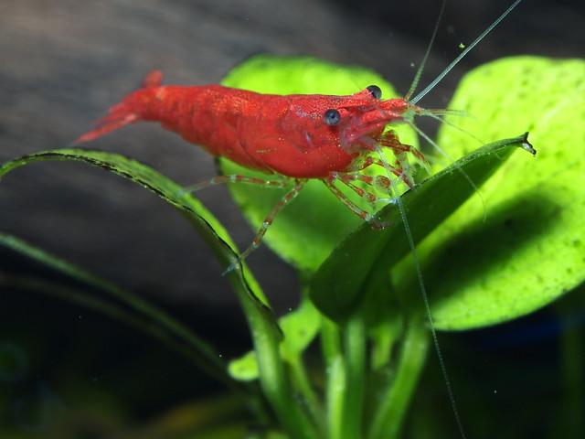 P7091884 玫瑰蝦