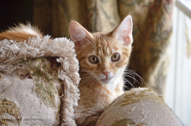 Jack the orange kitten, Alley Cats and Angels